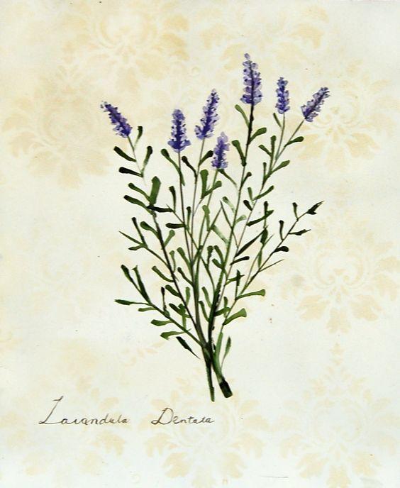 Lavender Plant Drawing Lavender – Botanical...