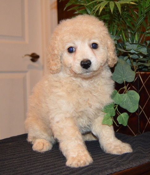 Cavapoo Puppies For Sale Duncanville Tx In 2020 Cavapoo Puppies For Sale Cavapoo Puppies For Sale