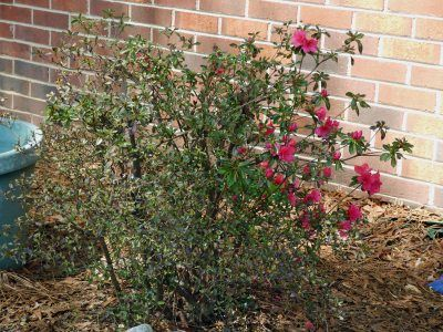Common Azalea Problems: Azalea Diseases & Azalea Plant Pests