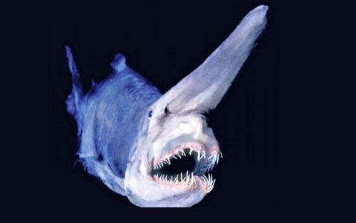 Las 8 Especies Más Raras Que Viven En El Fondo Del Mar Tiburon Duende Fondo De Mar Fauna Abisal