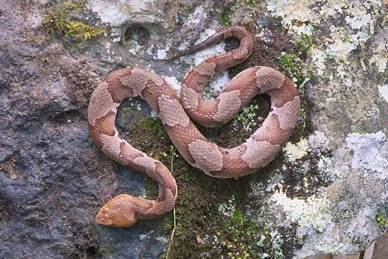Copperhead.: Copperhead Snake, Animals Ive, Animal Spirit Guides, Animal Totems, Copperheads It S, Frogs Lizards Snakes, Furless Snakes