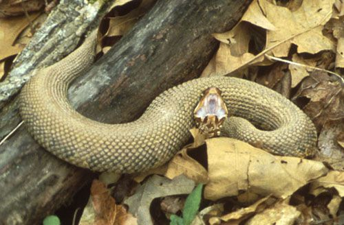 Cotton mouth snakes - I am not afraid of snakes - i just do NOT want to be surprised.  With the lack of rain and drought in Oklahoma -  these buggers are moving into more heavily populated areas .... so watch your KOI ponds.  Oh these things change color with age.  NASTY