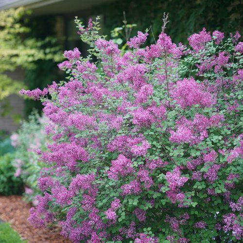 Bloomerang Dark Purple Reblooming Lilac Syringa X In 2020 Bloomerang Lilac Lilac Plant Lilac Bushes