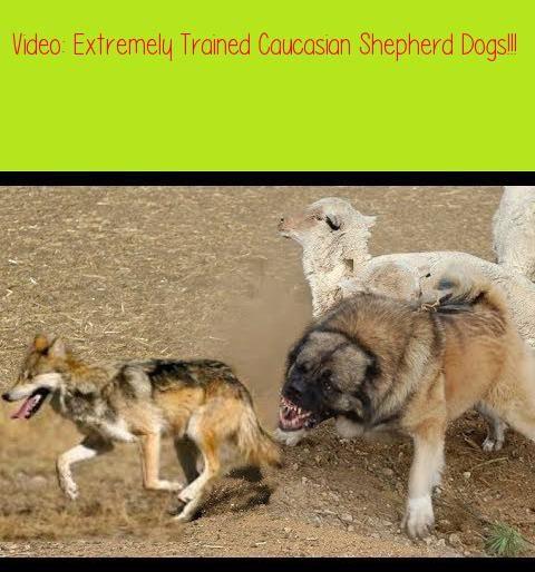Extremely Trained Caucasian Shepherd Dogs Dog Training