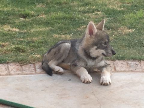 Wolf Hybrid Puppy For Sale In Andrews Tx Adn 34726 On