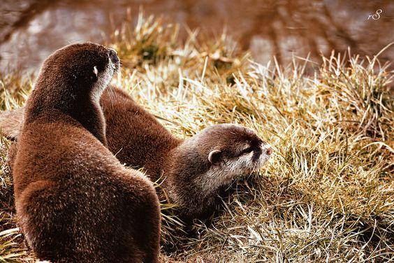 Otter Pair by Becca Giraffe on 500px