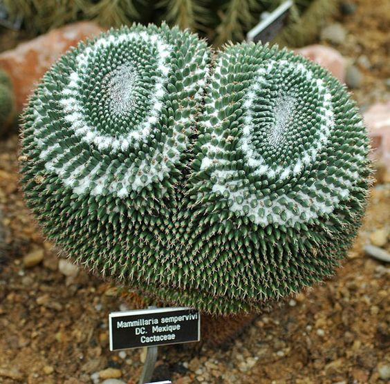 Mammillaria sempervivi: