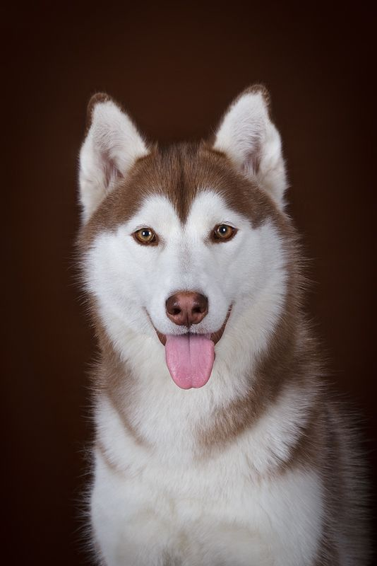 Are Huskies Smart Find Out From Real Husky Owners In 2020