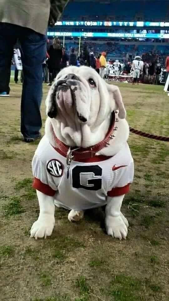 Bulldog Calm Courageous And Friendly Bulldog Georgia Dawgs