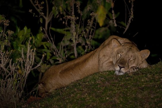 Der Afrikanische Löwe wird in Äthiopien verehrt. Er zierte lange Zeit das Wappen der Flagge.  - Foto: Bruno D'Amicis
