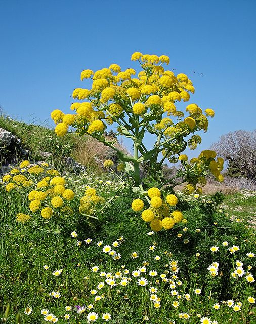Giant Fennel by mattberry, via Flickr