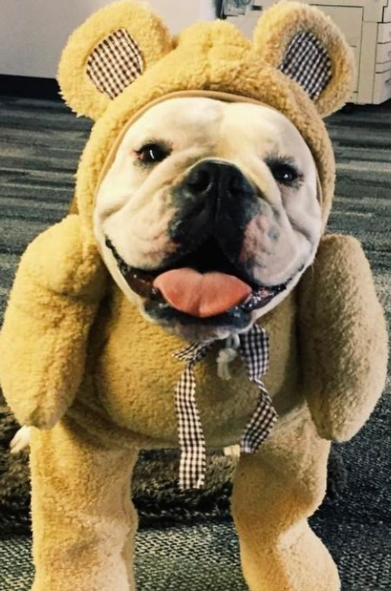 English bulldog. #jefffisherrealtor #arizonasrealty