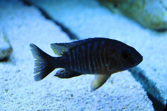 A. Stuartgranti Chiloelo Red Shoulder Peacock