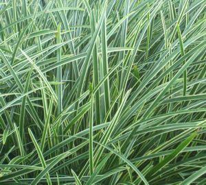 Carex ice dance dark green ornamental grass grasses for Dark ornamental grasses