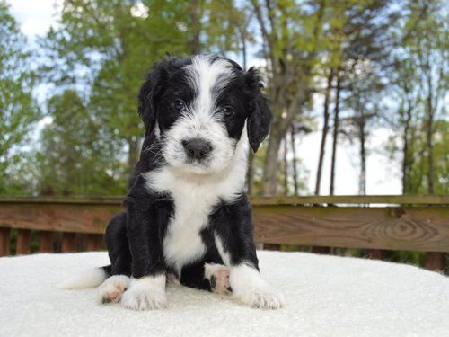 Black And White Sheepadoodle Sheepadoodle Puppy Domestic Dog