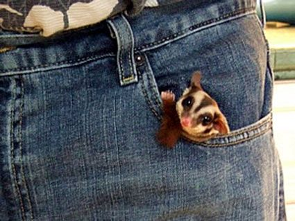 Sugar Glider | This is why they are called pocket pets ...