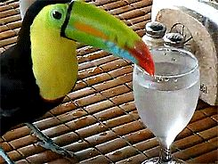 Have you seen a Toco Toucan hop down stairs lately? Or a Keel-billed Toucan bathe with a glass of restaurant water?