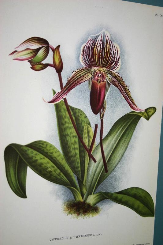 Lindenia Orchid Print Limited Edition Cypripedium x Wiertzianum Botanical B4 WOW      $15.31
