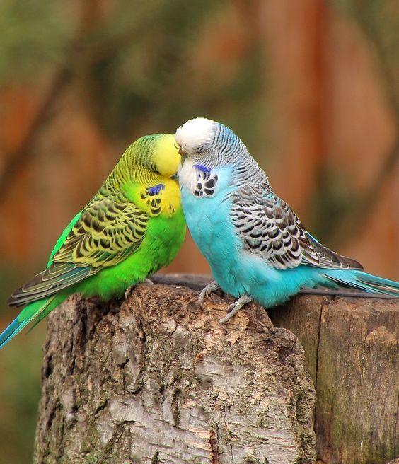 Imagen 2508137 Puntuar Comentar Pajaros Australianos Fotos De Animales Bonitos Pajaros Hermosos