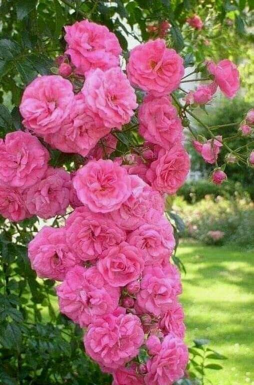 Growing Roses Pruning Fertilizing Diseases Growing Roses