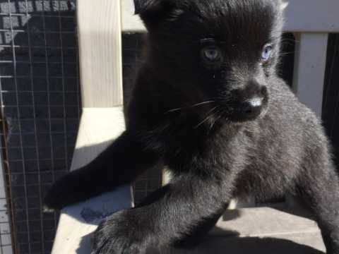 Preloved Cocker Spaniel Toy Poodle Dogs Puppies For Sale Uk And Ireland Puppies For Sale Toy Poodle Poodle Dog