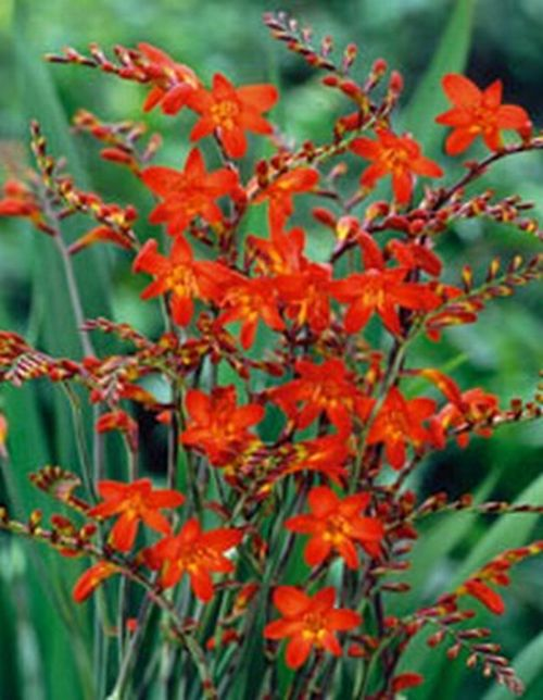 Image result for crocosmia emberglow