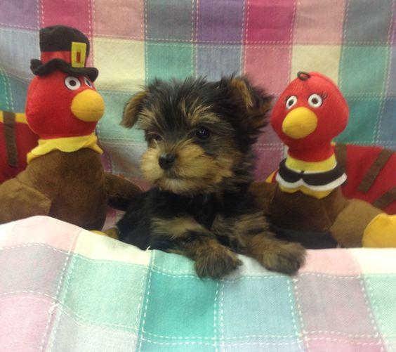 Yorkie Puppy @ hendersonvillepetshop.com