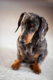Resultado de imagen para dachshund question face