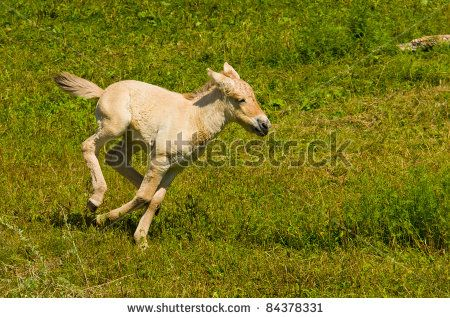 stock-photo-a-young-miniature-horse-running-in-an-open-field-84378331.jpg 450×318 pixels