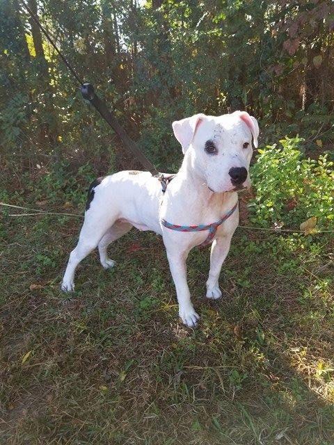 Adopt Lola On Pitbull Terrier Pitbulls Pet Adoption