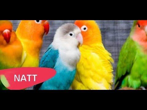 تكاثر طيور الحب Pet Birds Colorful Birds Colorful Parrots