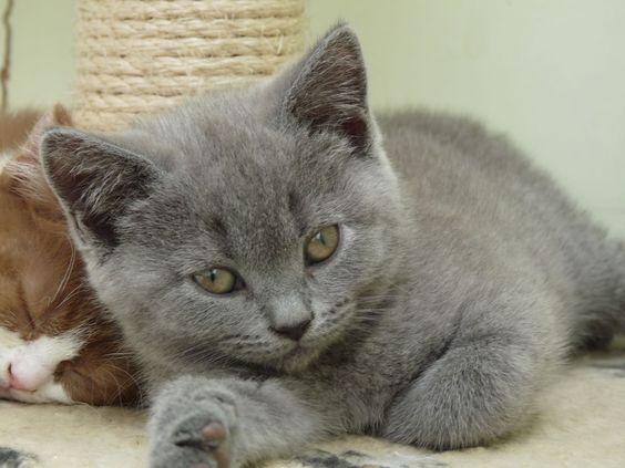 ♥CG♥ 36 British Shorthair Kitten