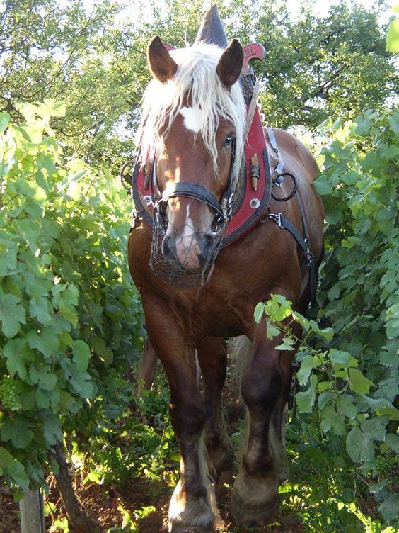 labour dans les vignobles jurassiens, Franche-Comté; un cheval comtois: