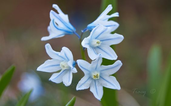 Early Spring Snowdrop Flowers | If you like this flower photo gallery - Please E-mail us your thoughts ...