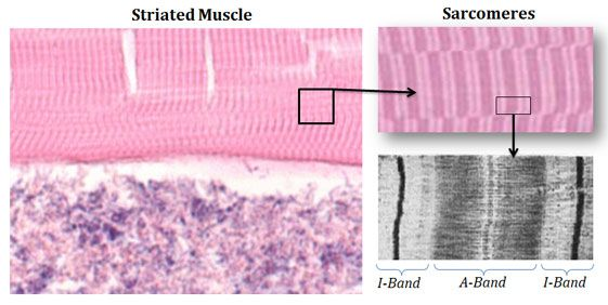 Structure Of Sarcomere Band Things Under A Microscope Physiology