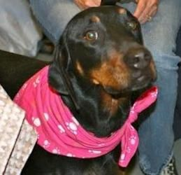 Penelope is an adoptable Black And Tan Coonhound Dog in Havana, FL. This is Penelope. Irvin's and Pearl's sister. She was born 8-27-2009. She is current on shots. Potty trained. Crate trained. Very sw...