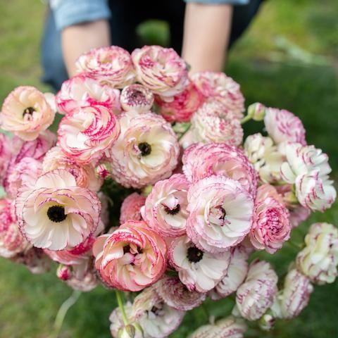 Ranunculus White Picotee In 2020 Flower Farm Bloom Flowers