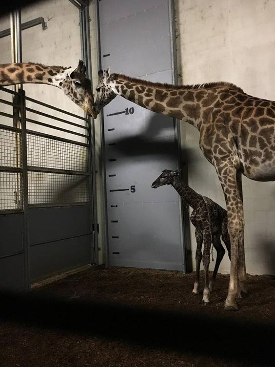 BREAKING: The baby giraffe is finally here! Autumn the giraffe gave birth to her new baby this morning, just before 6:30 AM. What an exciting day in Greenville, SC! Congratulations to Autumn, Walter, and everyone at the Greenville Zoo! // ‎yeahTHATgreenville