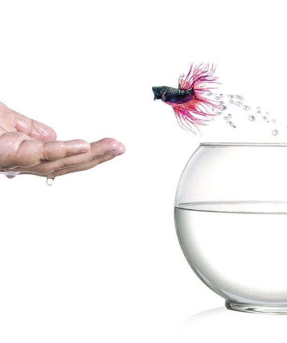 Editor pets and swimming on pinterest for Betta fish training
