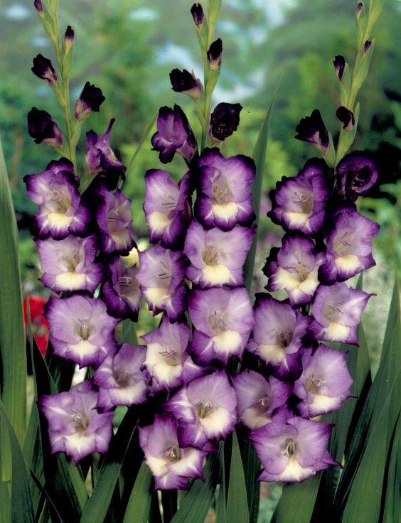 White gladiolus was my mom s wedding flower but they didn