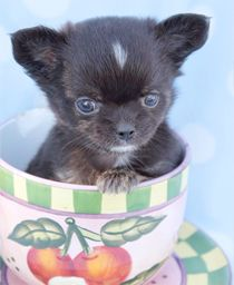 Chihuahua Puppy For Sale at TeaCups Puppies