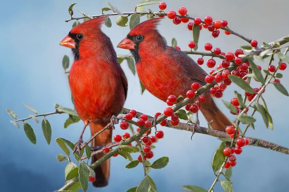 Red Birds In Red Berries Photograph