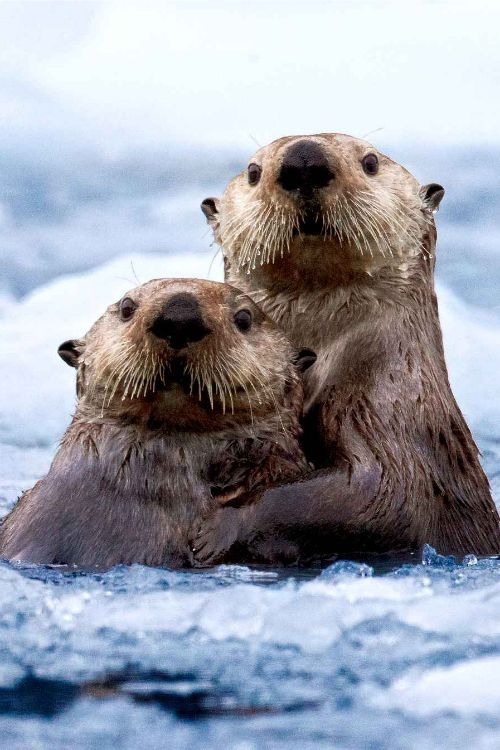 These otters look like they got caught misbehaving