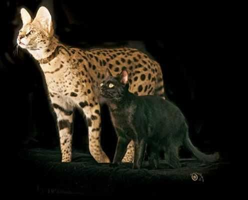 Cats Bred To Look Like Wild Cats Savanna Cat Cat Breeds Bengal Cat Full Grown