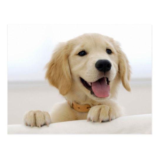Golden Retriever Puppy Postcard Zazzle Com Dog Skin Allergies