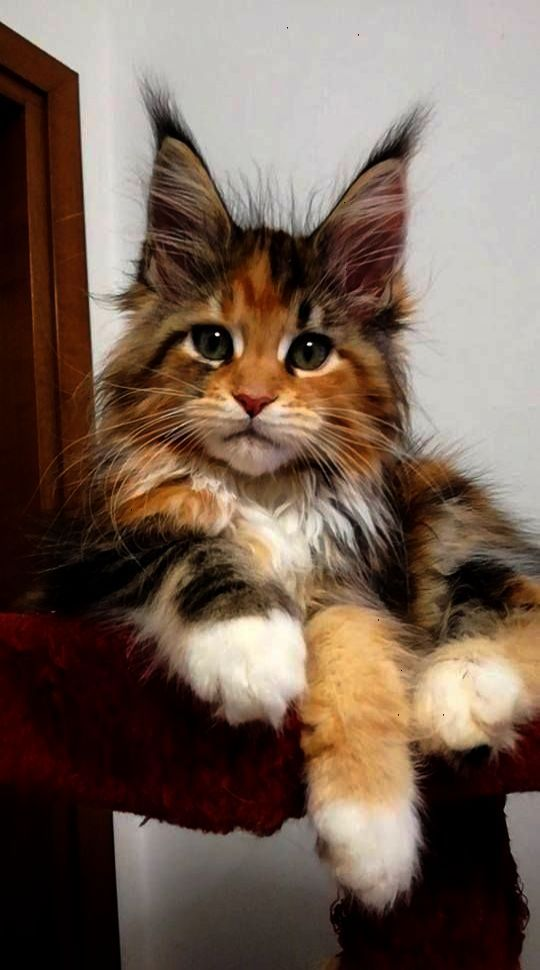 Pin Kittens Near Me For Sale Craigslist D Kittens Cutest Cute Animals Cute Cats