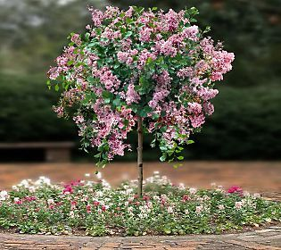 Weeping Lilac Tree | Flowers and Gardening | Pinterest ...