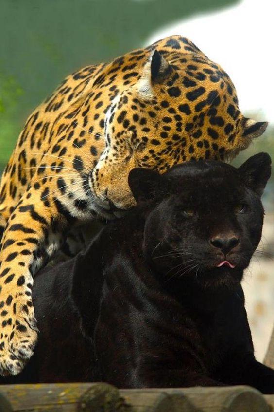chats sauvages, pantère et léopard amis