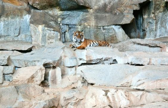 Perfect The best Tiger berlin ideas on Pinterest Eisb ren berlin Zoo in berlin and Lars der kleine eisb r