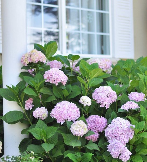 Girls front yards and hydrangeas on pinterest for Easy care shrubs front house